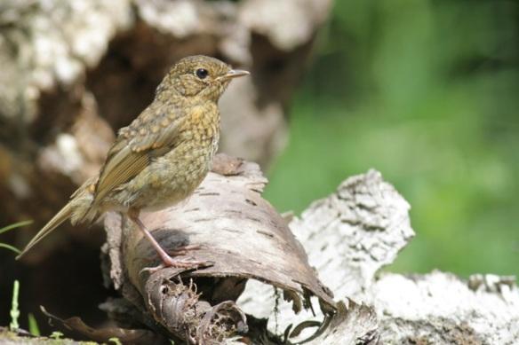 Young robin near hide, 10 June 2016