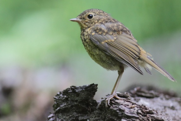 Young robin, on 10 June 2016