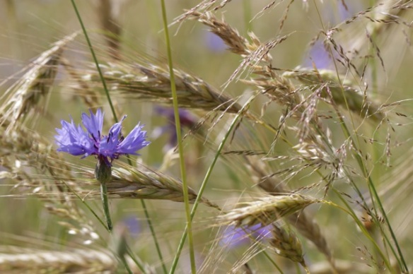Blue cornflowers, 2 July 2016