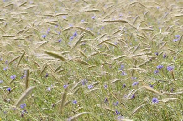 Blue cornflowers, on 2 July 2016