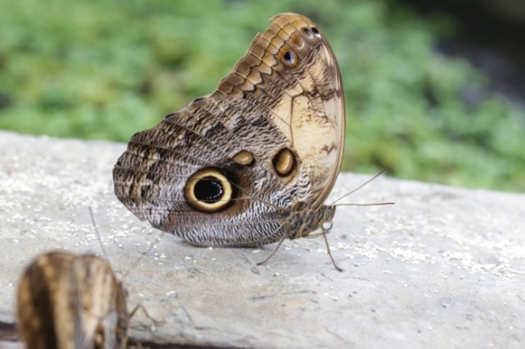 Gold-edged owl butterfly, 7 August 2016
