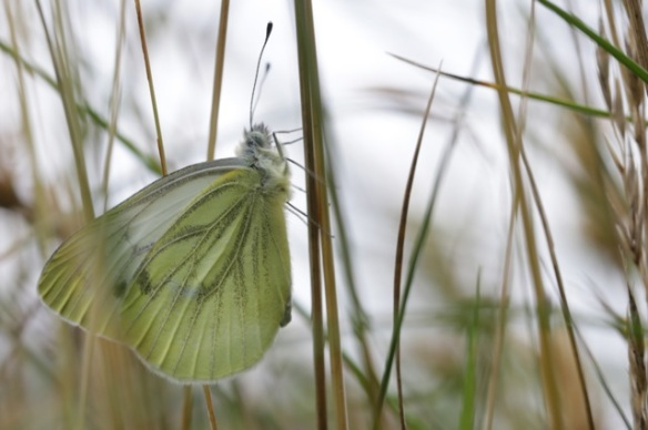Green-veined white butterfly, 8 July 2016