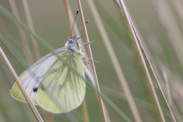 Green-veined white butterfly, Huis ter Heide, 8 July 2016