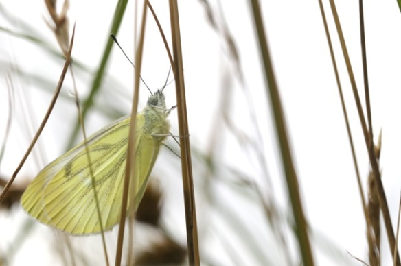 Green-veined white butterfly, on 8 July 2016
