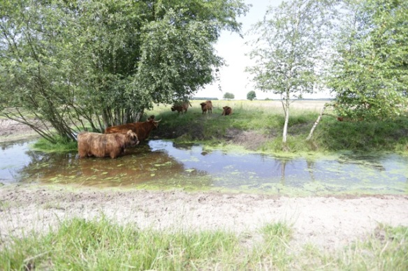 Highland cattle, 10 July 2016