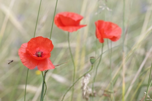 Long-headed poppies, 2 July 2016