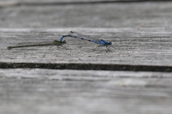 Mating common blue damselflies, 9 July 2016