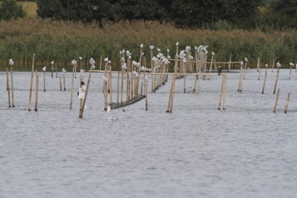 Black-headed gulls on poles, 3 October 2016