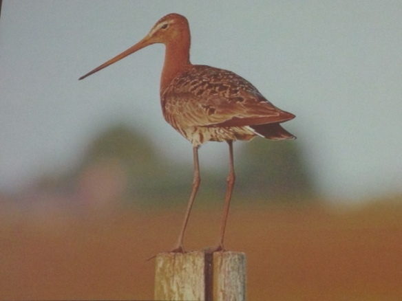Black-tailed godwit on a pole, 16 October 2016