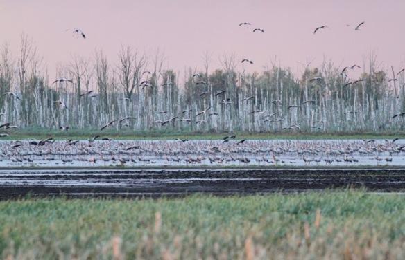 Cranes flying away, 4 October 2016