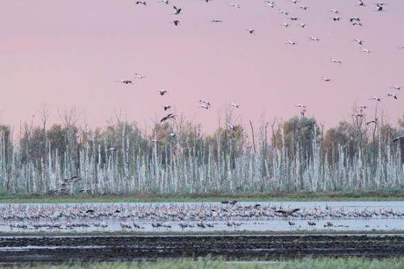 Cranes flying away