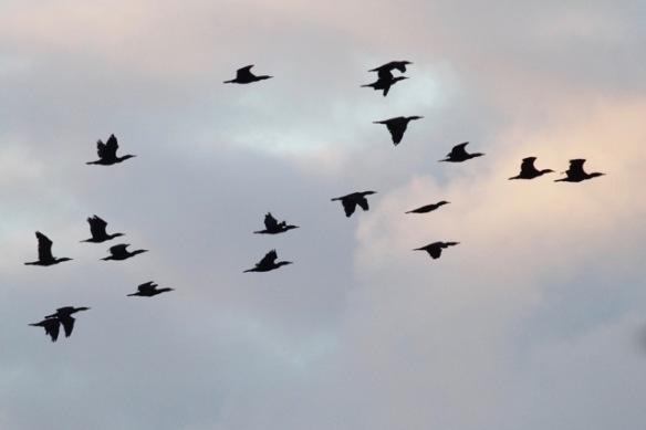 Great cormorants, 4 October 2016