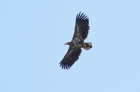 Sea eagle flying, 3 October 2016