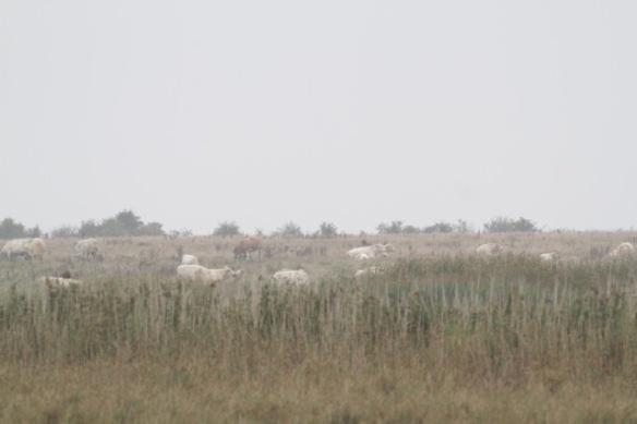 Uckermark cattle, 2 October 2016