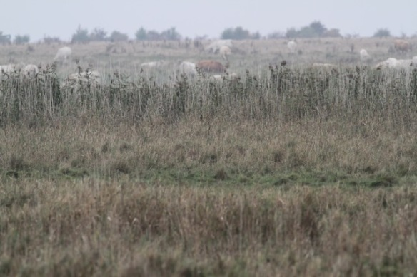 Uckermark cattle on 2 October 2016