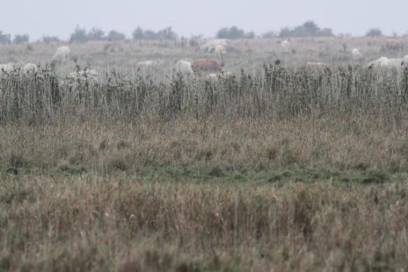 Uckermark cattle on 2 October 2016