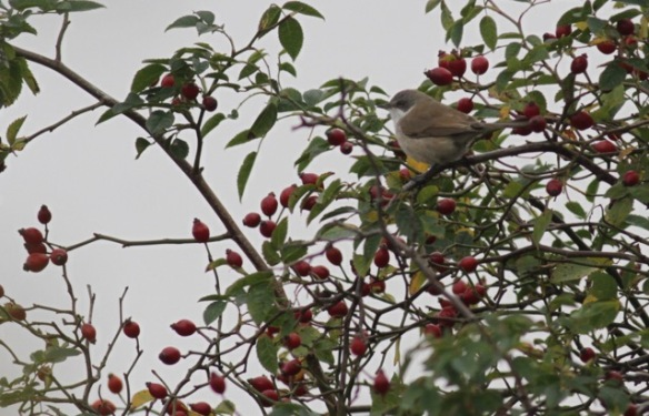 Whitethroat, on 2 October 2016