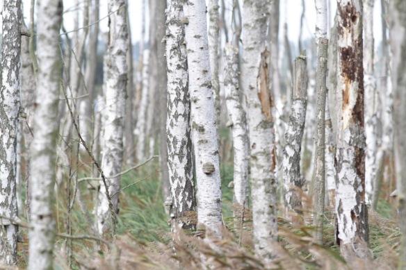 Birch trees, 4 October 2016