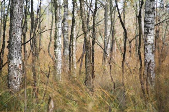 Birch trees, 5 October 2016