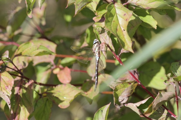 Emperor dragonfly male, Germany, 4 October 2016