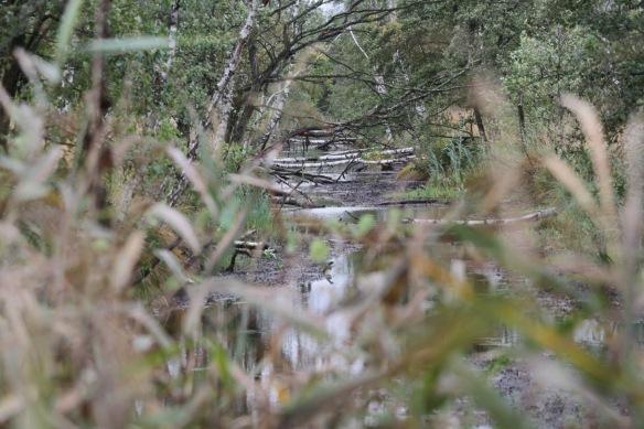 Fallen birch trees, 5 October 2016