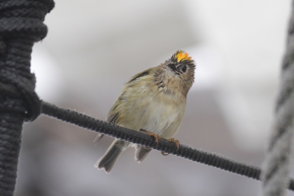 Goldcrest on ship on 7 October 2016