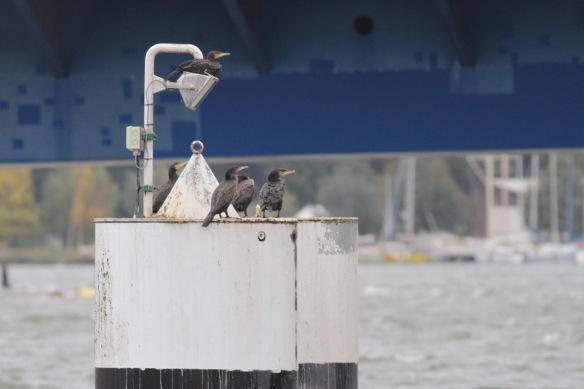 Great cormorants, 6 October 2016