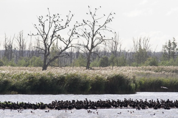 Great cormorants on 4 October 2016