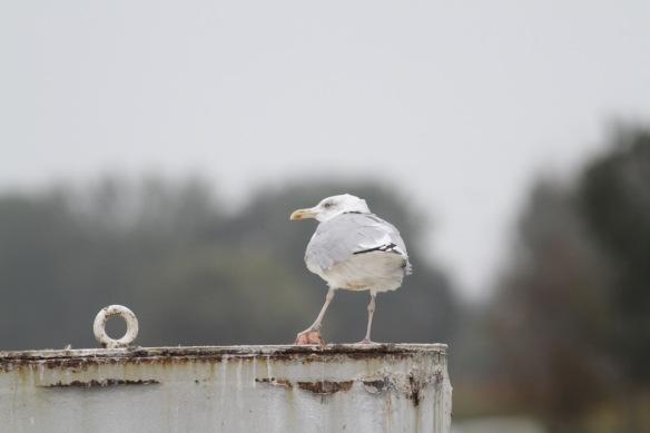 Herring gull, 6 October 2016