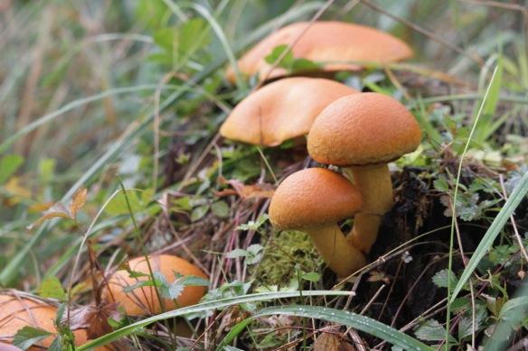 Mushrooms, 5 October 2016