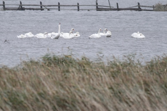 Mute swans, 6 October 2016