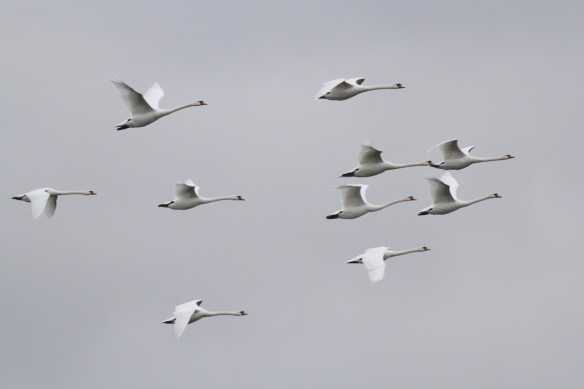 Mute swans flying 6 October 2016