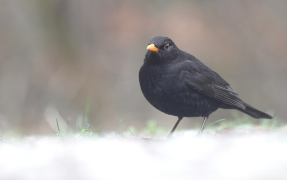 Blackbird male, 23 January 2017