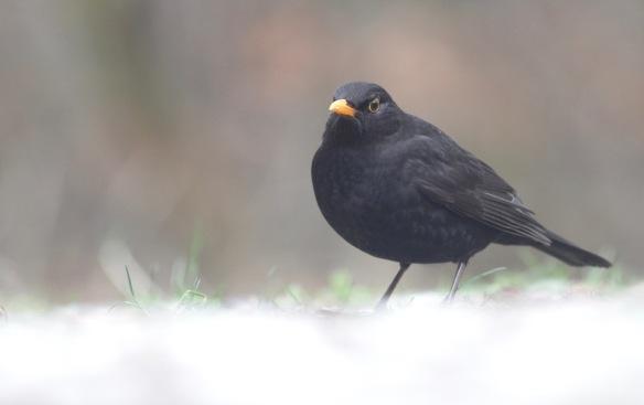 Blackbird male, 23 January 2017