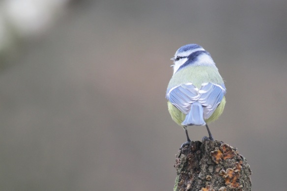 Blue tit, 23 January 2017