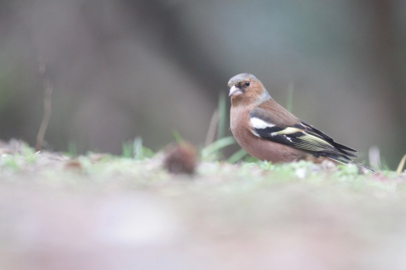 Chaffinch male, 23 January 2017