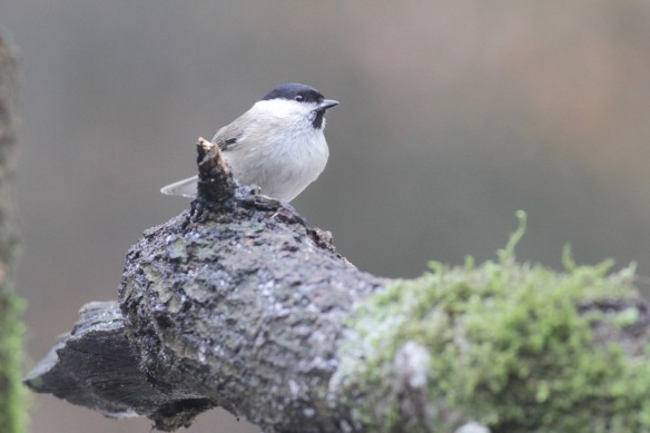 Marsh tit, 23 January 2017