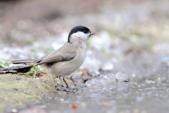 Marsh tit on 23 January 2017