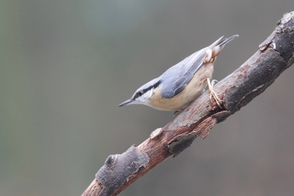 Nuthatch, 23 January 2017