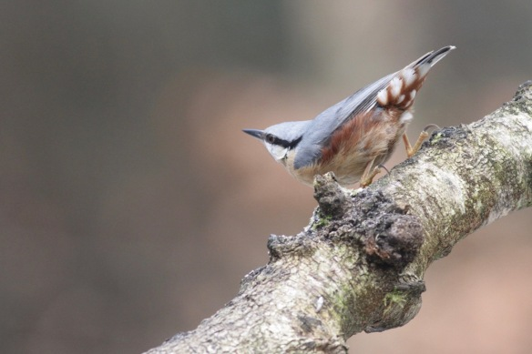 Nuthatch on 23 January 2017