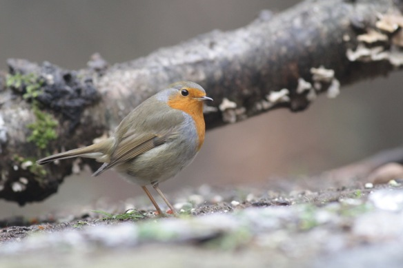 Robin, 23 January 2017