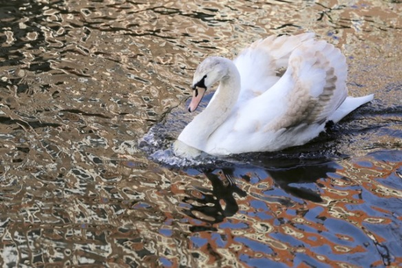 Mute swan youngster, 18 February 2017