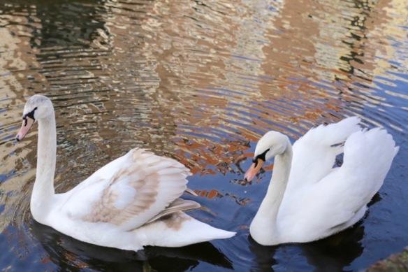 Mute swans, 18 February 2017