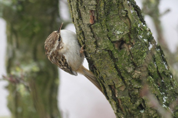 Short-toed treecreeper, 10 February 2017