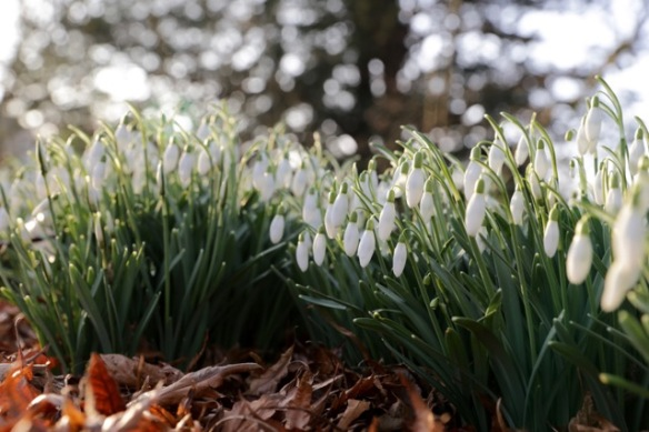 Snowdrops on 18 February 2017