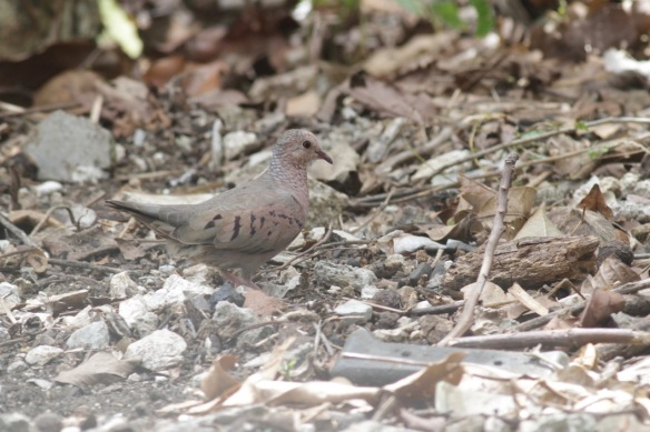 Common ground dove, 9 March 2017