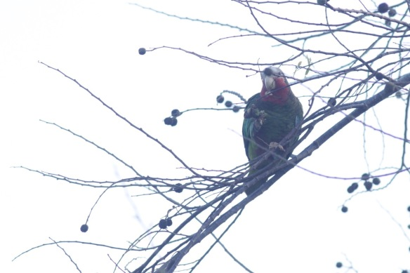 Cuban parrot, 9 March 2017