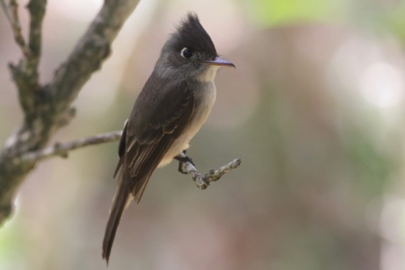 Cuban peewee, 6 March 2017