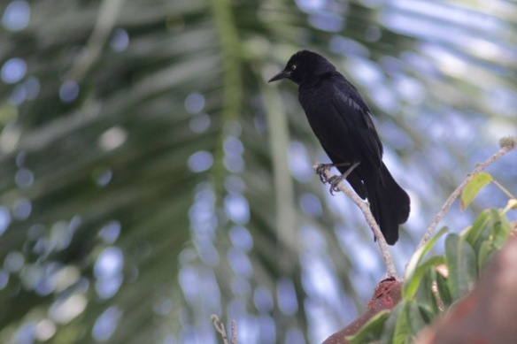 Greater Antillean grackle, 6 March 2017