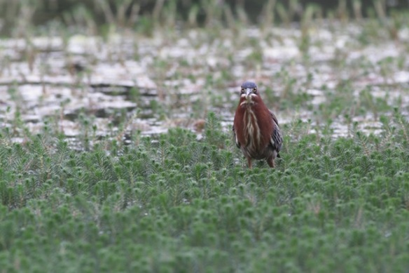 Green heron, 6 March 2017